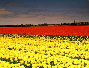 Tulip field - Protecting the environment as a career